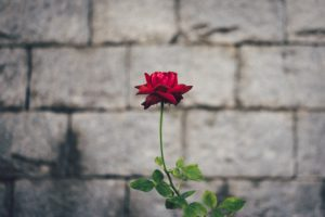 single rose in front of a brick wall