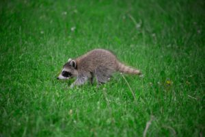 Small baby racoon walking in green grass