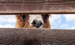 a close-up photo of an alpacas eyes as they peer through a wooden fence
