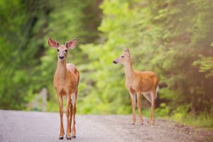 two deer standing in the road