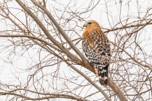 a hawk sitting in bare tree branches