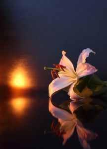 a white lily on a dark background with a candle flickering in the background to symbolize loss