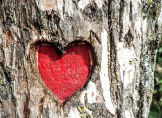 a heart carved into a tree, and painted red