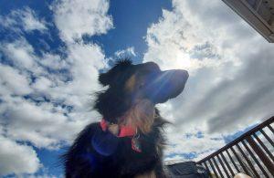 Golden Aussie mix dog sitting in the sunshine