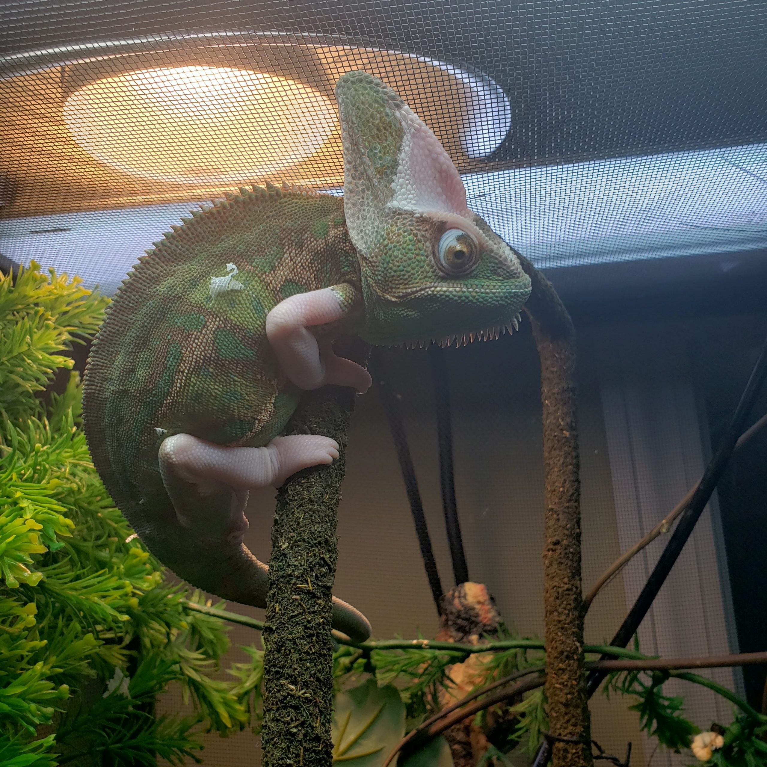 a chameleon on a branch in a cage under a heat light