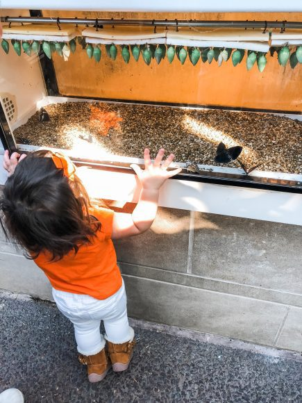A toddler girl gazing at butterflies and chrysalises at the Butterfly House in Chesterfield, MO