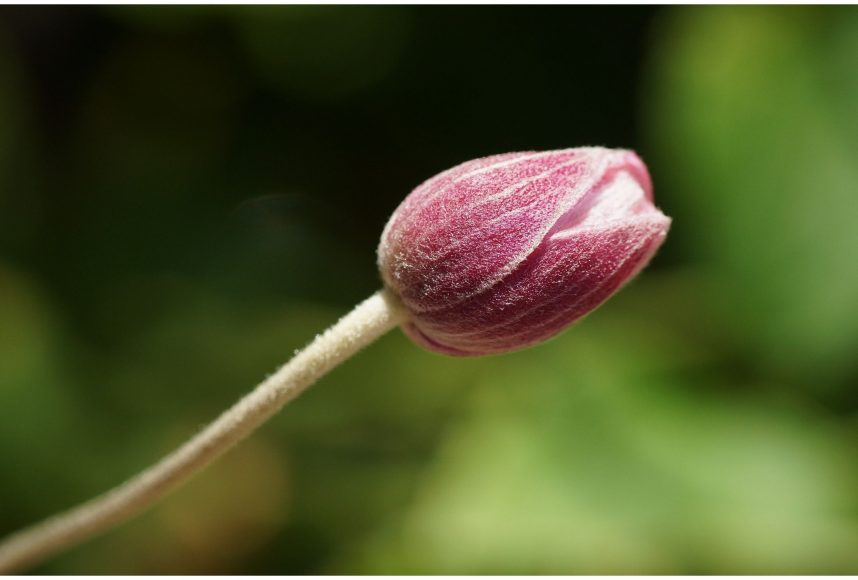 a red flower bud